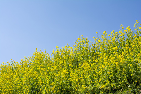 cole: From an oblique angle of cole flower field under blue sky Stock Photo