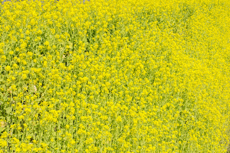 cole: Bright yellow cole flower field covering ground