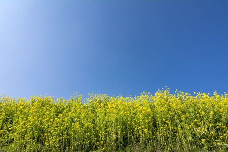 cole: Yellow cole flower field under blue sky Stock Photo