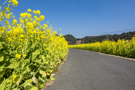 roadway: Cole flower field and roadway under blue sky Stock Photo