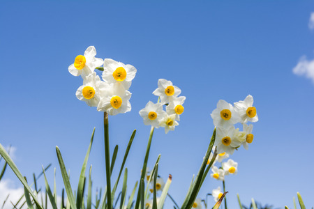 several: Several yellow narcissus flowers under blue sky