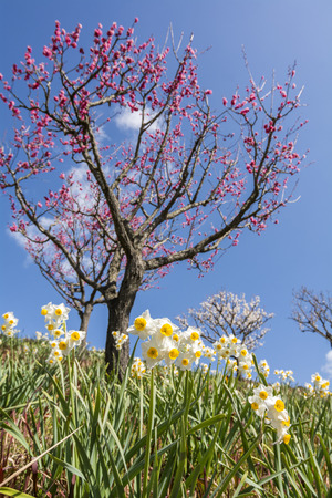 japanese apricot flower: Yellow narcissus flowers in front of chinese plum flowers under blue sky Stock Photo