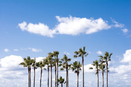 robusta: Arranged washingtonia robusta trees under sky with clouds Stock Photo
