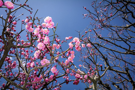 japanese apricot flower: Many branches of pink chinese plum flowers under deep blue sky