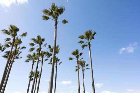 bole: Close up arranged washingtonia robusta trees under sky with clouds