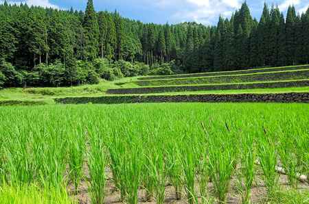 terraced field: Terraced green rice field and conifer forest in summer Stock Photo
