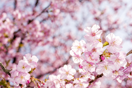 early blossoms: Bright pink cherry blossoms Cerasus lannesiana in early spring Stock Photo