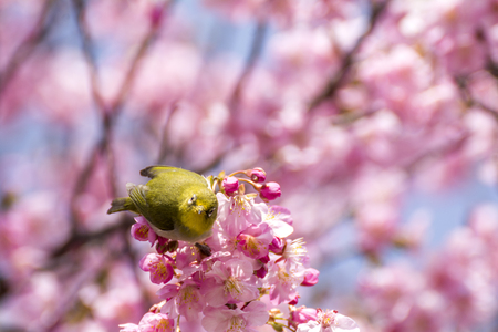 front facing: Front facing of japanese white-eye bird Zosterops japonicus on cherry blossoms in early spring