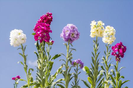 snapdragon: Line of colorful snapdragon flowers under blue sky