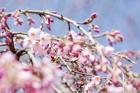 Weeping cherry blossoms in a lot of buds