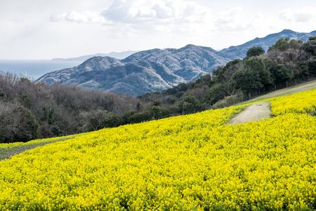 cole: Cole flower field in front of mountain in Awaji island