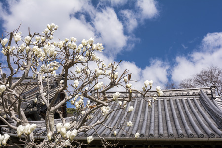 buddhist temple roof: Yulan magnolia flowers in front of buddhist temple roof under blue sky in Onomichi, Hiroshima