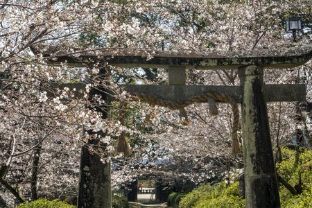 saga: Shinto at the shrine gate surrounded by yoshino cherry blossom in Ogi, Saga Stock Photo