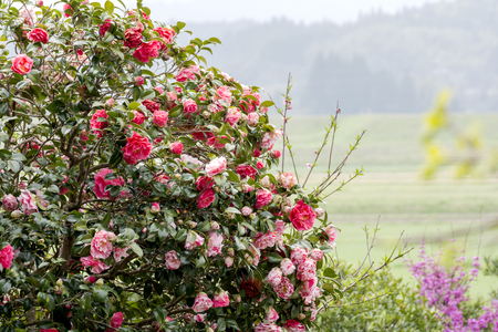 two tone: Red and two tone color of camellia flowers in front of green field