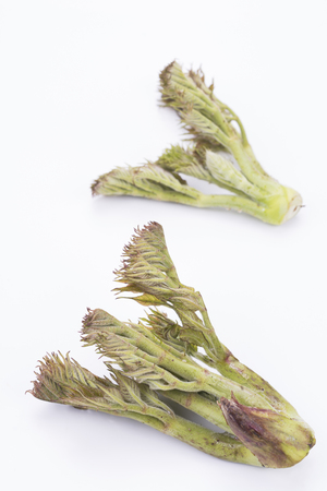 aralia: Shoots of Aralia elata Japanese angelica tree on a white background in vertical composition Stock Photo