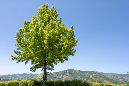 hilltop: Fresh green trident maple tree on hilltop under blue sky