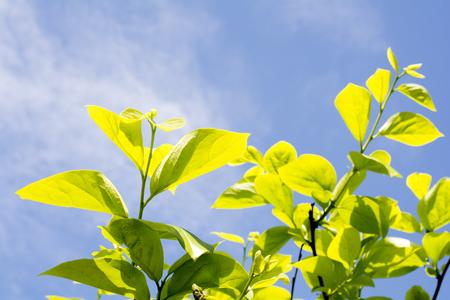 persimmon tree: Fresh green persimmon tree leaves under blue sky