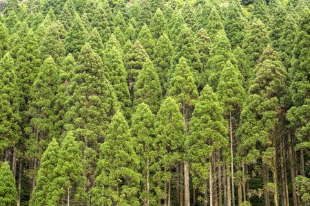 Straight growth Japanese cedar Cryptomeria japonica forest in Kirishima, Kagoshima
