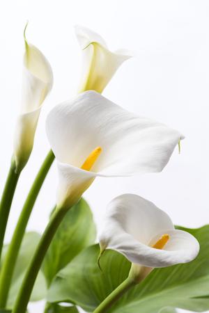 垂直成分の白い背景の前で白いオランダカイウユリ花 写真素材