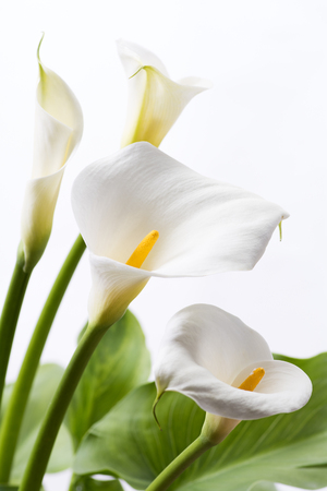White calla lily flowers in front of white background in vertical composition Foto de archivo