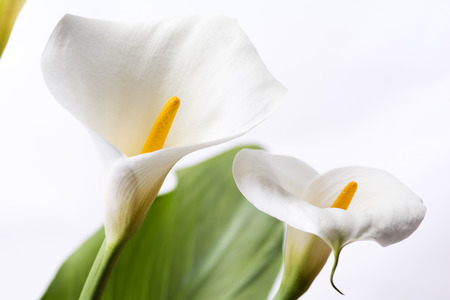 Close up two white calla lily flowers in front of white background Stock Photo