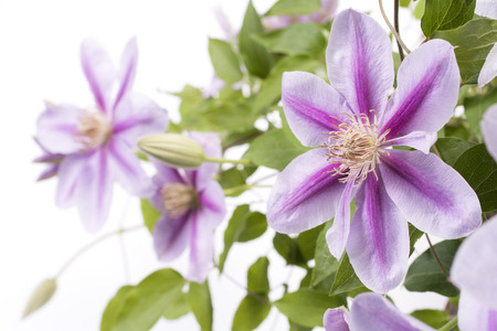 clematis flower: Purple clematis flower in front of flower blurs Stock Photo