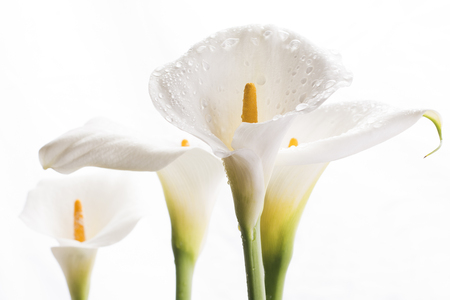 white nile: Close up strait white calla lily flowers in front of white background