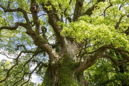 cinnamomum: Longevity large camphor tree with green leaves