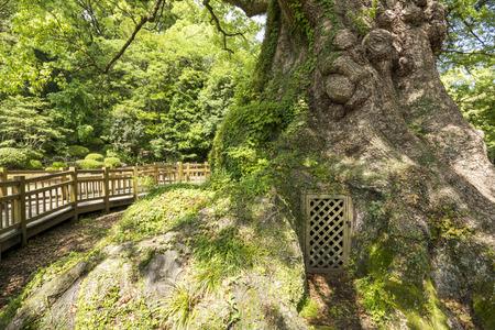 longevity: Door at base of longevity large camphor tree