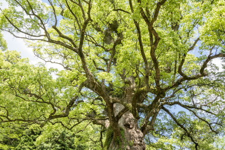 cinnamomum: Longevity large camphor tree which long branches spread full