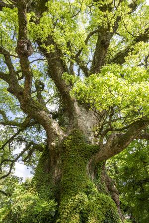 Longévité grand arbre de camphre avec des feuilles vertes dans la composition verticale