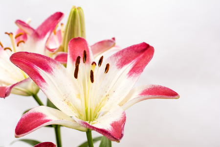 two tone: Close up two tone white and red asian lily flower on gray background