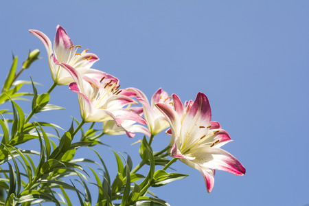 two tone: Slanted two tone white and red asian lily flowers under blue sky