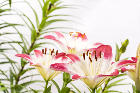 two tone: Two tone white and red asian lily flowers in front of green stem