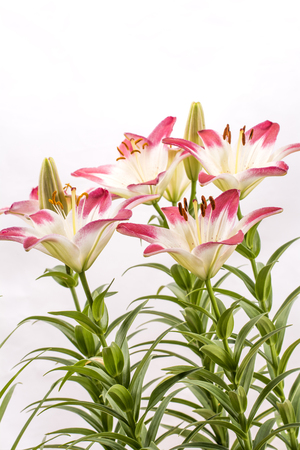 two tone: Two tone white and red asian lily flowers with green stems in vertical composition Stock Photo