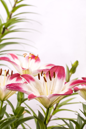 two tone: Close up two tone white and red asian lily flowers in vertical composition Stock Photo
