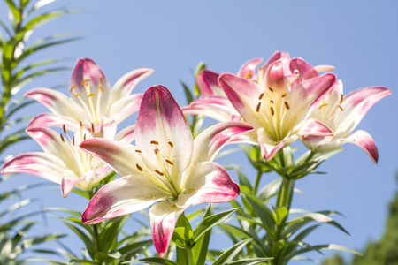two tone: Close up two tone white and red asian lily flowers under blue sky