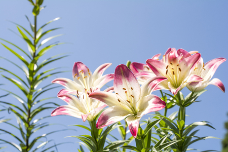 two tone: Two tone white and red asian lily flowers with stem under blue sky