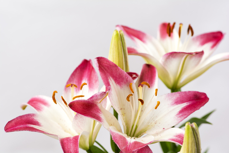 two tone: Two tone white and red asian lily flowers in front of gray background