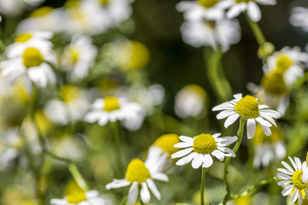 german chamomile: Full blooming german chamomile flowers in front of dark background