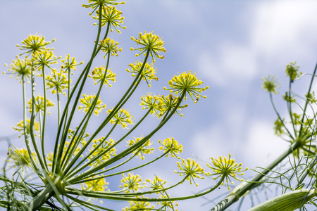 medicated: Yellow fennel flowers under sky in early summer