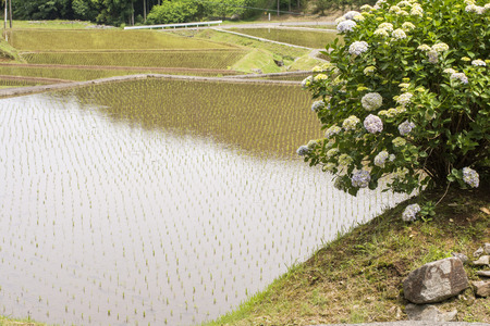 an agricultural district: Freshly planted paddy field and hydrangea flowers
