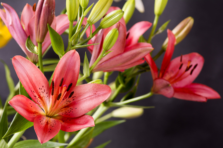 garish: Vivid red asian lily flowers in front of dark background