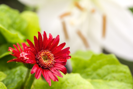 african daisy: Bright red african daisy flower in front of white lily Stock Photo