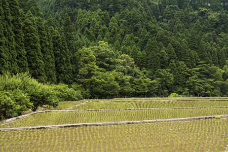 an agricultural district: Freshly planted paddy field in front of green forest