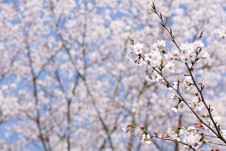 slant: Cherry blossoms from slant branch in front of flower blurs