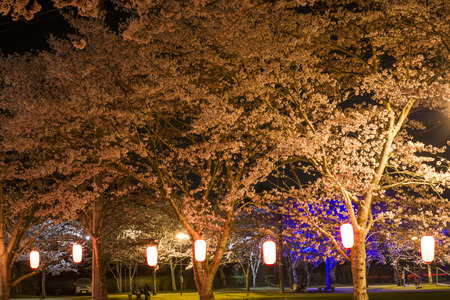 irradiate: Lined cherry blossoms along lanterns at night