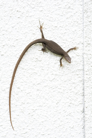 climbed: Japanese grass lizard Takydromus tachydromoides climbed white wall in vertical composition Stock Photo