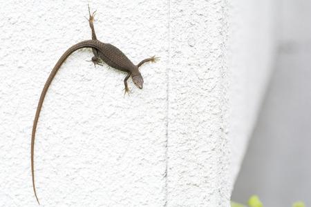climbed: Japanese grass lizard Takydromus tachydromoides climbed white wall Stock Photo