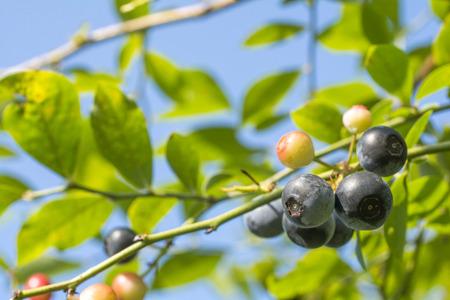 maturity: Blueberry immature and maturity fruit under blue sky